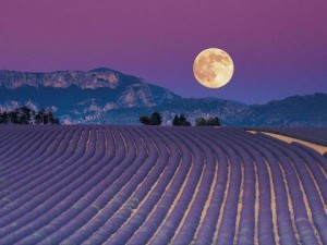 full-moon-lavender-2-300x225