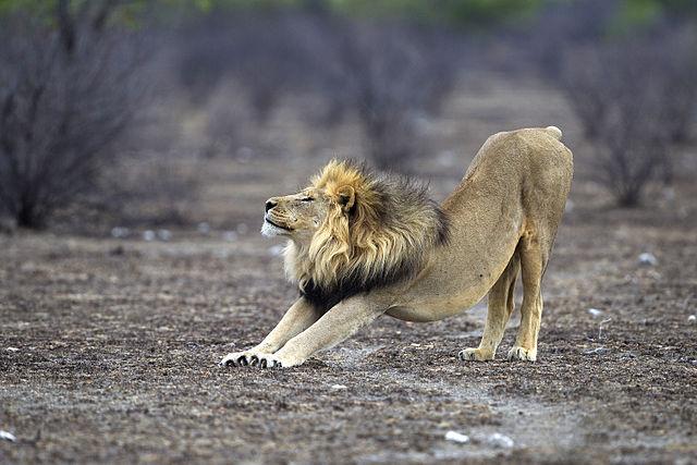 Panthera_leo_stretching_Etosha_2012